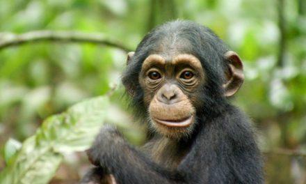 Chimpanzés, un film très émouvant signé Disneynature. A ne pas manquer !